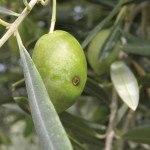 Control de plagas en Olivar Ecológico: Plagas más comunes