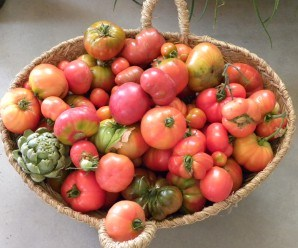 """Cosecha de tomates y alcachofas de los huertos ecológicos de """"La huerta de Montecarmelo"""""""