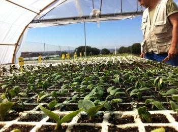 """Semilleros con plántulas germinando en uno de los invernaderos de """"La Huerta"""""""