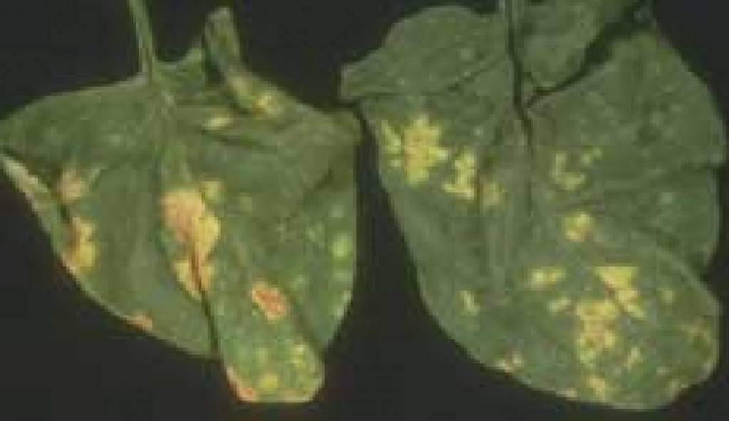 Manchas amarillas producidas por Mildiu