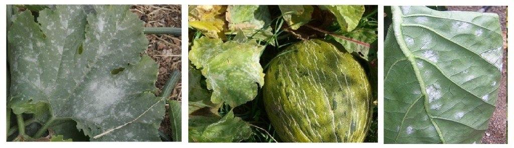 Manchas en las hojas de color blanco: oidio