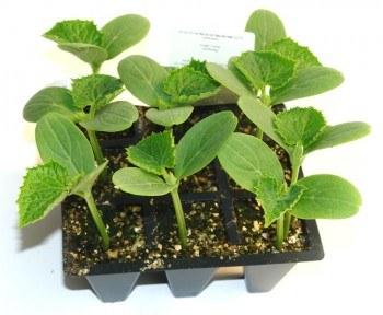 Plantel de pepino en bandeja de 9 unidades. Fuente: www.gardenencasa.es/