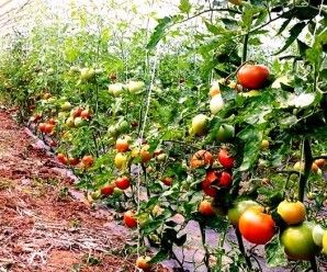 Cultivar tomates en el huerto ecológico
