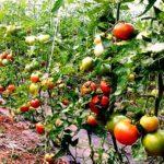 Cultivar tomates en el huerto paso a paso. Cómo plantar y cuidar tomates