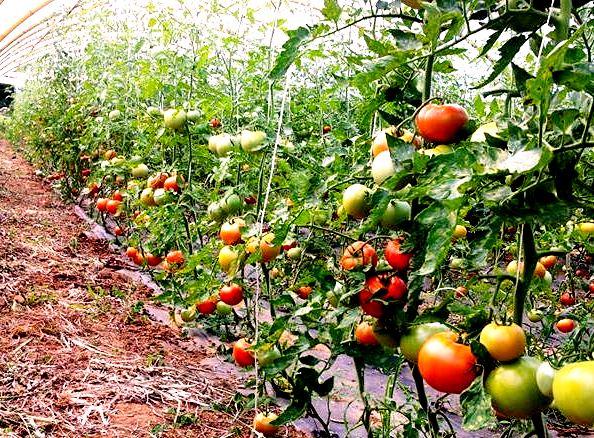 Cultivar tomates en el huerto paso a paso c mo plantar y - Que plantar en el huerto ...