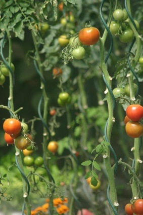 Cultivar tomates. Entutorado