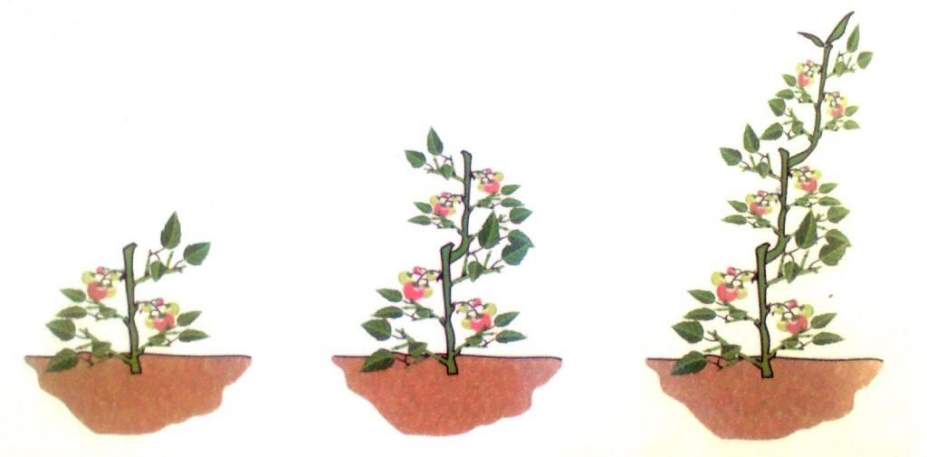 """Despunte de la tomatera. Fuente: Libro """"El huerto urbano"""" (Vallés, 2007)"""