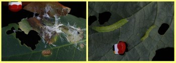 Cacoecimorpha pronubana en laurel Chrysodeixis chalcites en fresa