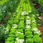 Cómo cultivar Lechugas en el Huerto Ecológico