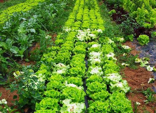 Cultivar lechugas en el huerto ecol gico c mo plantar for Plantas beneficiosas para el huerto