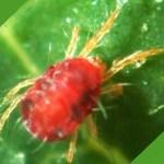 Araña roja en las plantas: cómo eliminar la plaga de forma ecológica