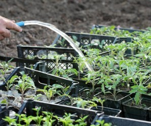 Watering of tomato plant seedlings in a greenhouse