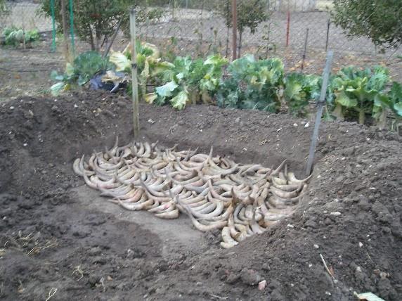 Cuernos preparados para enterrarlos - www.biodinamica.es