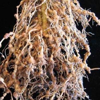 Este es el aspecto de las raíces tras la acción de los nemátodos - bonsaialgaida.webnode.es