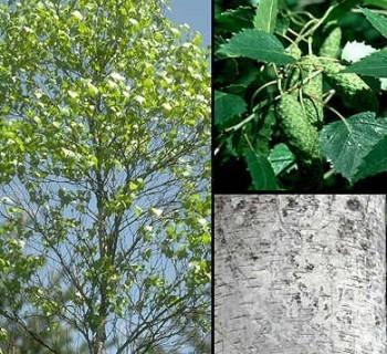 10 plantas silvestres que podemos comer i - Abedul blanco ...