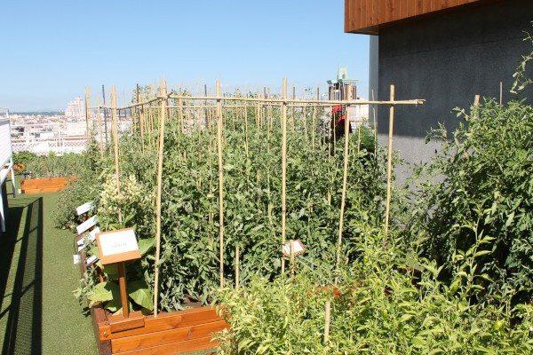 Plantas de tomate en la azotea del Wellington