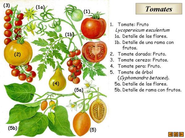 Diferentes tipos de tomate