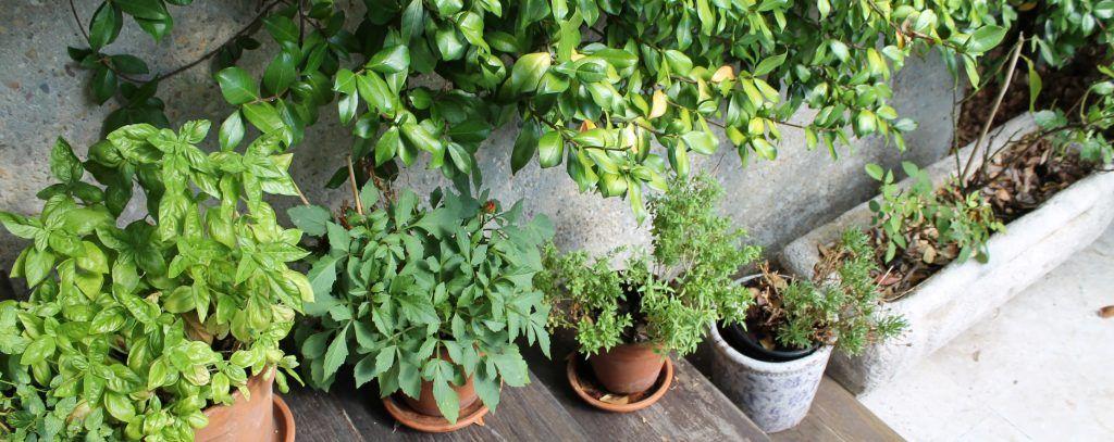 Aromáticas en el huerto de terraza