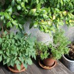 5 Plantas para hacer té que puedes  cultivar tu mismo