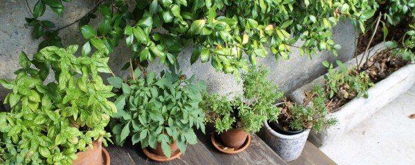 hierbas aromáticas en el huerto de terraza