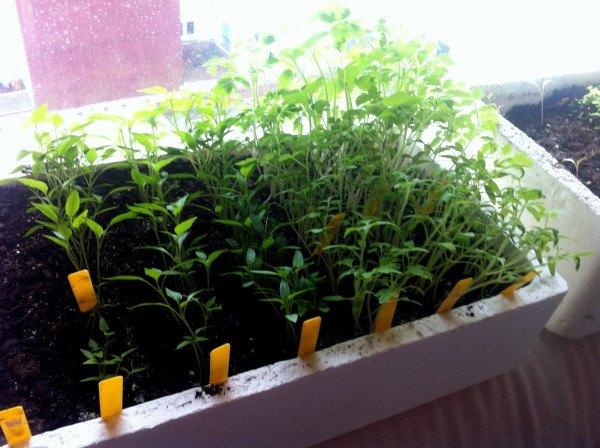 Como hacer un semillero en el huerto for Como iniciar un vivero en casa