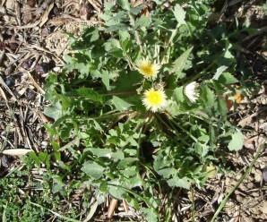 eliminar malas hierbas del huerto: Sonchus
