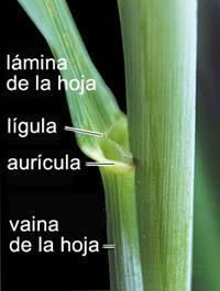 Lígula, aurícula, vaina.... - www.fao.org