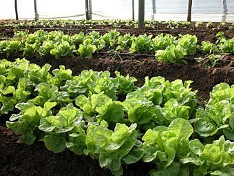 C mo cultivar lechuga en el huerto for Preparar el huerto en invierno