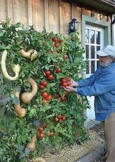 Huerto vertical con calabazas y tomates (Fuente: www.es.handspire.com)