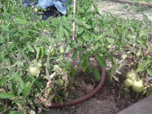 Tomatera en el huerto del CEIP Cristóbal Colón (Fuente: www.elhuertodemicole.wordpress.com)