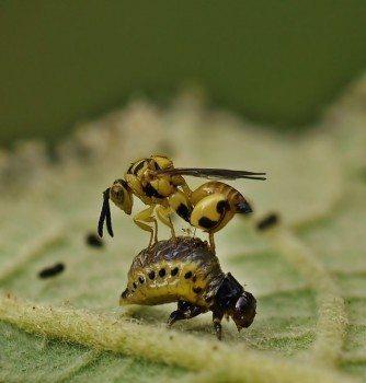 Enemigos naturales para la lucha biológica en el huerto: avispilla sobre coleóptero