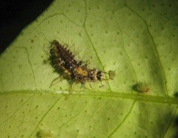 Larva de Chrysopa depredando áfidos (Fuente: www.gipcitricos.ivia.es)