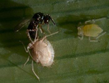 Avispilla parasitoide y a la izquierda un pulgón aun vivo.