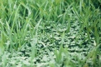 Cultivo de arroz con mulch de trébol blanco (Fuente: www.onestrawrevolution)