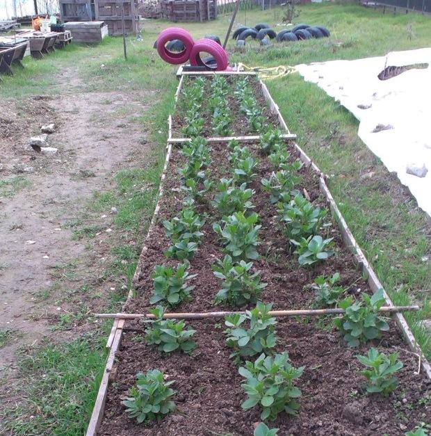 Cultivo de habas en el huerto urbano de Carabanchel Aliseda 18 (Fuente: www.aliseda8.wordpress.com)