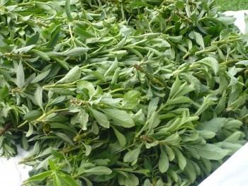 Cosecha de hojas de Stevia (Fuente: www.artexanamond.blogspot.com)