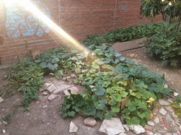 Cultivo de calabazas en el huerto El Solar de Matilde