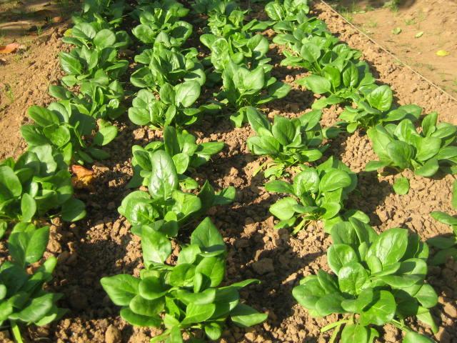 Cultivo de espinacas (Fuente: www.infojardin.com)