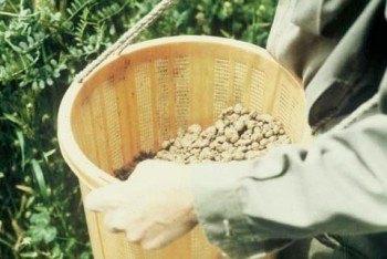 Masanobu Fukuoka esparciendo Nendo dango  (Fuente: www.onestrawrevolution.net)