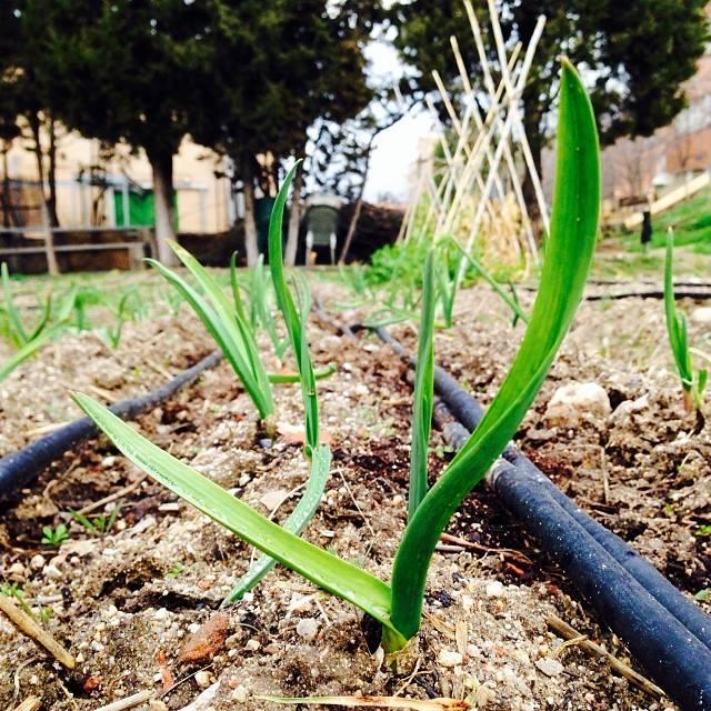 Brotes de ajos en el huerto de Agrofogones en Ciudad Universitaria (Fuente: www.facebook.com)