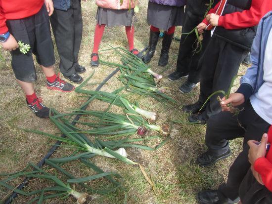 Cosecha de cebollas cultivadas por los alumnos del CEIP La Dehesa del Príncipe en el Barrio Campamento