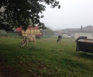 Aquí observamos un huerto detrás de las vacas.