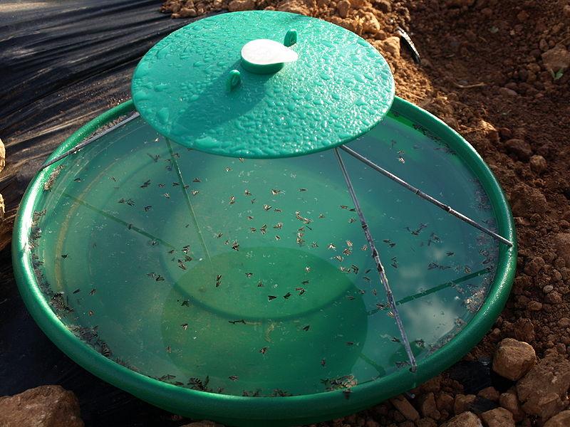 Trampa de agua con feromonas para combatir y detectar a la Tuta. Fuente: http://es.wikipedia.org/wiki/Tuta_absoluta