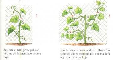 Poda de la planta del melón Piel de Sapo