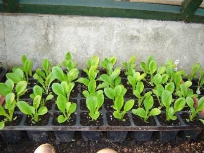 Semillero con planteles (Fuente: www.foroantiguo.infojardin.com)