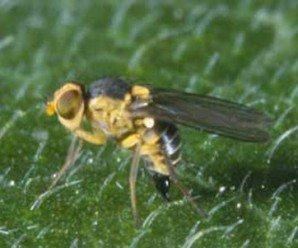 La Liriomyza: Qué es y cómo controlar esta plaga