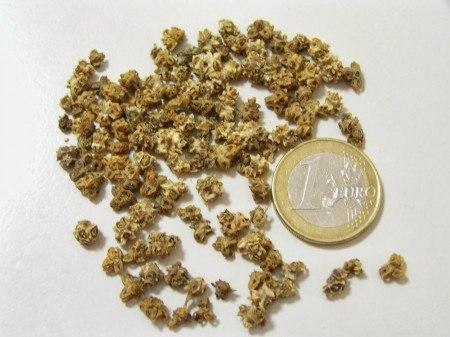 Aquí observamos cómo son los glomérulos de la acelga. Fuente: elhuertoesfacil.blogspot.com