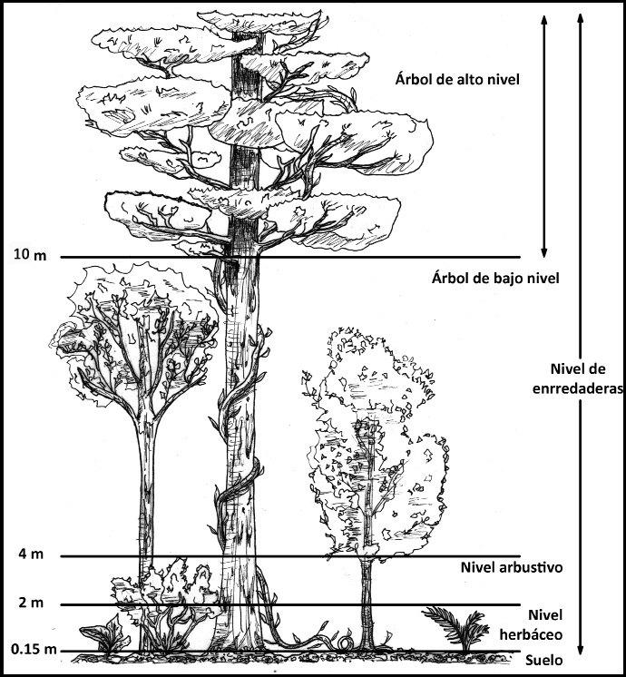 Estratos del bosque comestible. Fuente: Fuente: Manual bosque comestible. Cooperativa Las Cañadas 2011.