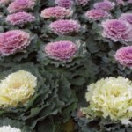 Las Coles Ornamentales: Cultivo y usos