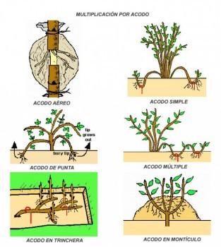Tipos de acodo. Fuente: www.guiadejardineria.com